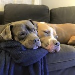 snuggling pit bulls